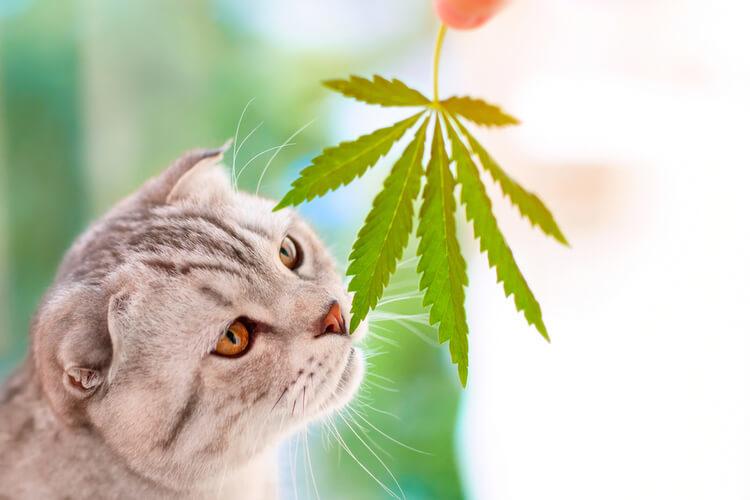 CBD-Oil-for-Cats
